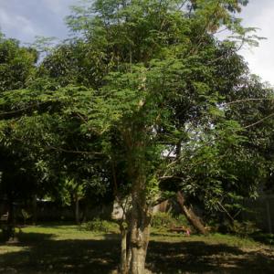 Moringa_malunggay_oleifera_tree