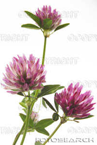 Red clover flower.jpg