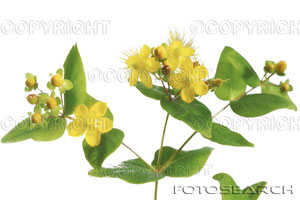 File:Saint John's Wort flower 1.jpg