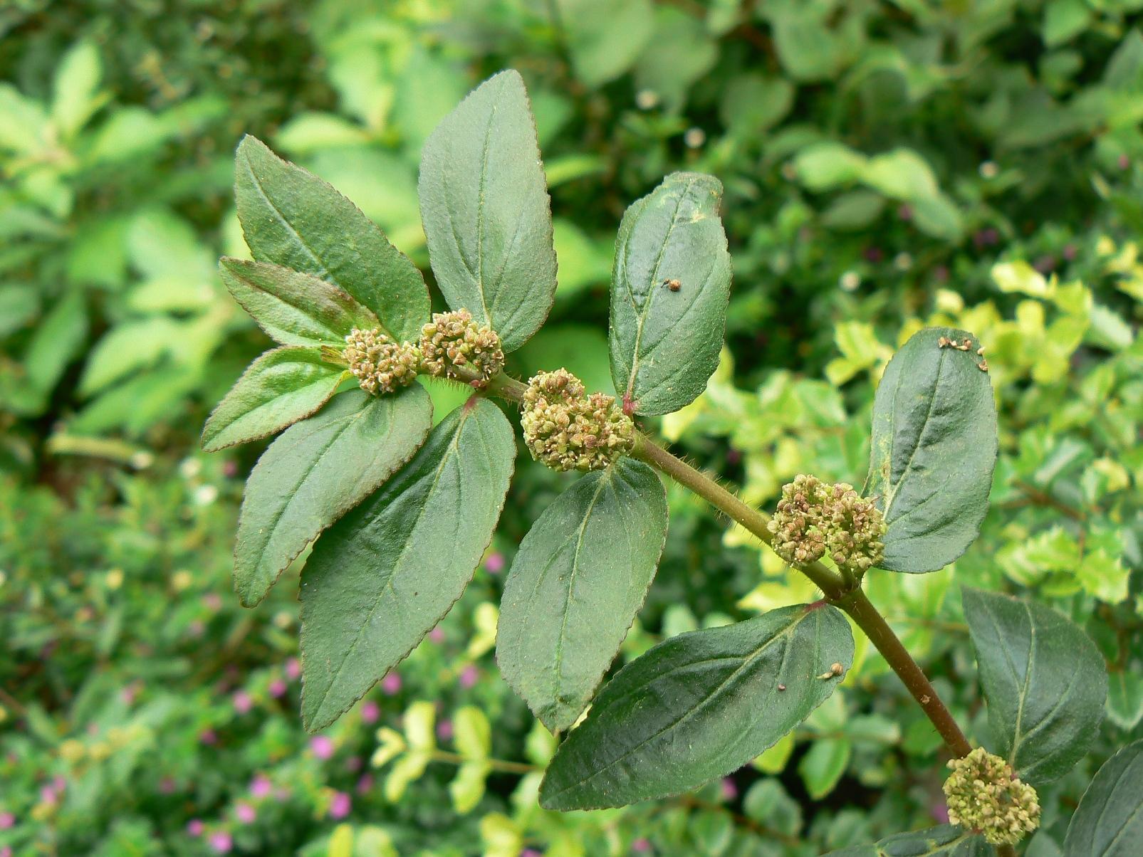 Euphorbia hirta1.JPG