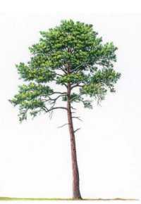 Yohimbe tree.jpg
