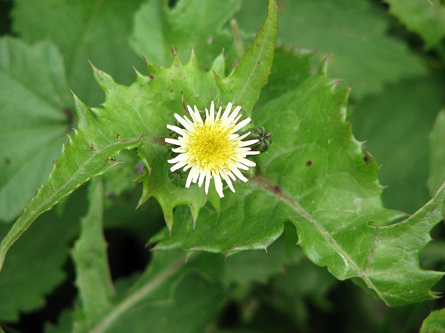 File:Sow thistle (Sonchus oleraceus) - geograph.org.uk - 929791.jpg