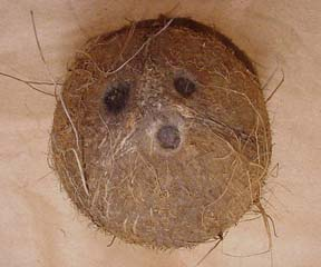 Coconut fruit.jpg