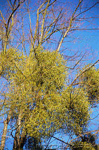 Mistletoe-growing-on-a-tree1.jpg