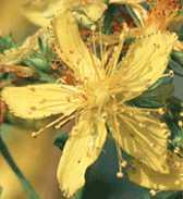 File:Saint John's Wort flower.JPG