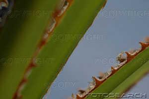 Saw palmetto leaf.jpg