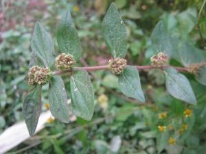 Euphorbia hirta NP.JPG