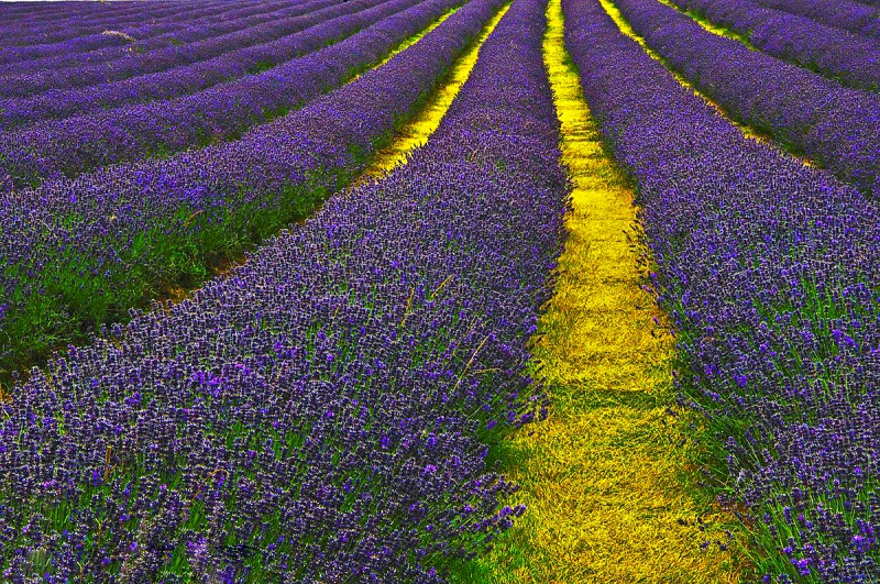 File:Lavender Field Sutton.jpg