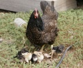 Gallina y maga pollo - mother hen and chicks.jpg