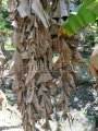 Dasah - dried banan leaves.PNG