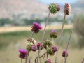 Clump of thistles.jpg