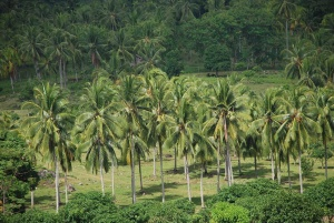 Coconut plantation.JPG
