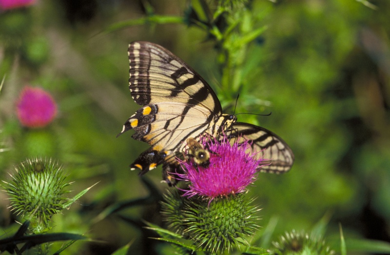 File:Swallowtail and Bumblebee on thistle .JPG