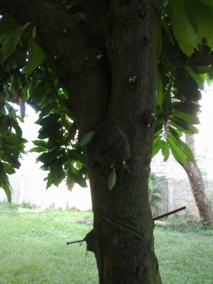 Cacao pods on a 40 year old cacao tree.jpg